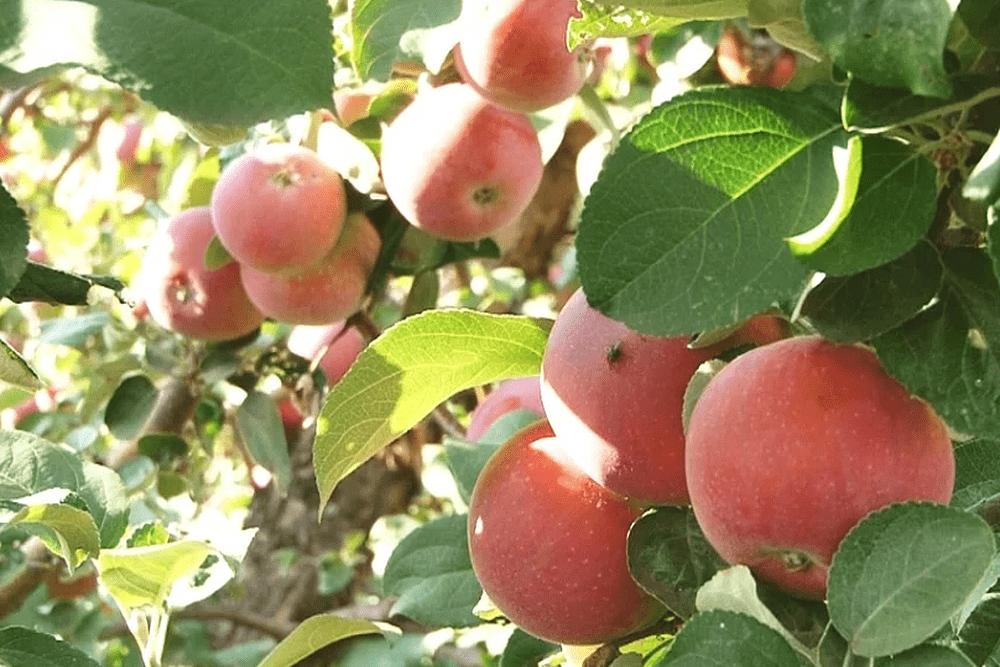 Яблоня конфетное: описание