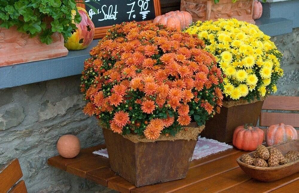 Хризантема в вазоне