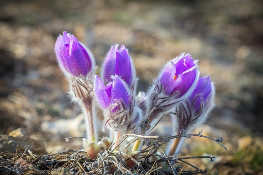 сон трава - описание растения