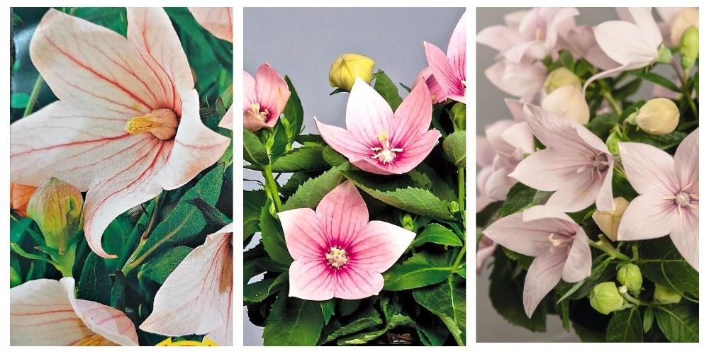 розовые разновидности