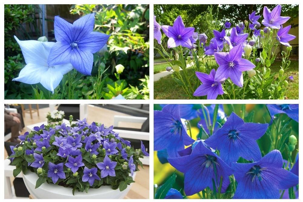 синие разновидности